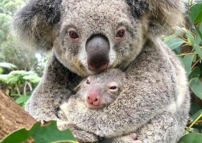 koala ash