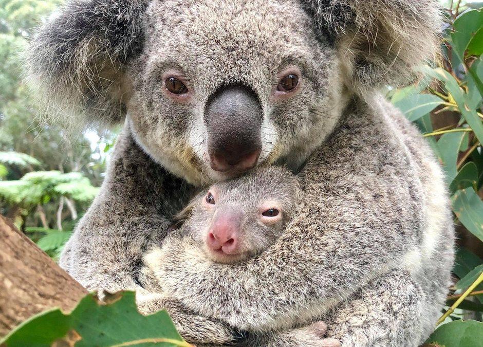 El koala 'Ash', icono de la recuperación de la vida silvestre en Australia
